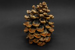 Big brown pine cone placed on black background with copy space.  stock photo