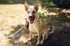 Big brown positive dog from shelter with big ears posing outside Royalty Free Stock Photography