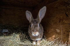 Big brown rabbit in the shed with small bunnies.  stock image