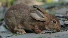 Big Brown Rabbit Feeds. Big brown rabbit on the tile close-up 1080p, 25 fps stock footage