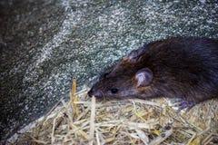 Big brown rat Stock Photo