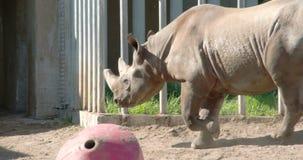 A big brown Rhinoceros walking on the yard FS700 4K stock video footage