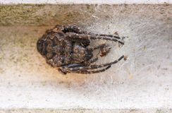 Big brown scary spider close up Stock Images