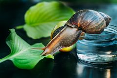 Big brown snail crawls from the jar of water to the green leaf on the table in the room. Close-up royalty free stock photos