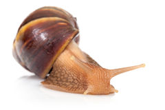 Big brown snail crawls on white Royalty Free Stock Photo