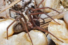 Big brown spider Stock Photography