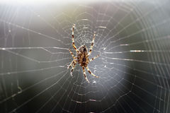 Big brown spider in cobweb 01. Big brown spider in cobweb - big red-brown four spot orb weaver (Araneus quadratus) is a common orb weaver spider found in Europe Stock Image