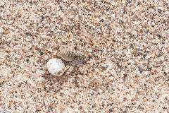 Big brown spider on sand with its egg Royalty Free Stock Photography