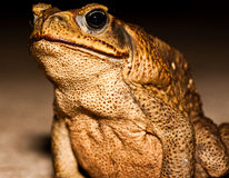 Big brown toad Stock Image