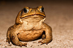 Big brown toad Royalty Free Stock Photography