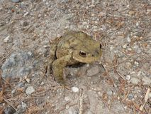 Big brown toad in the forest Stock Image