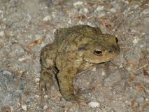 Big brown toad in the forest Royalty Free Stock Image