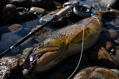 Big brown trout Royalty Free Stock Photography