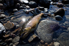 Big brown trout. Brown Trout on dry fly. Huge, wild, fresh Stock Photo