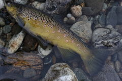 Big brown trout. Brown Trout on dry fly. Huge and wild Stock Photo