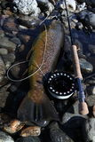 Big brown trout. Brown Trout on dry fly. Huge and wild Stock Photography