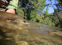 Big brown trout being caught Stock Photos