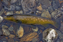 big brown trout on fly Stock Photos