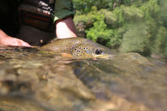 Big brown trout staring at camera Stock Photography