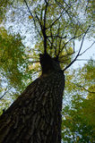 Big brown trunk and new green leaf of old tree Royalty Free Stock Image