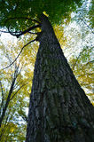 Big brown trunk and new green leaf of old tree Stock Image