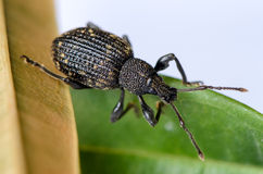 Big brown weevil (Hylobius abietis Curculionidae). Crawling on a green leaf Stock Images