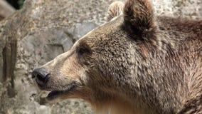 Big brown wild bear