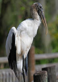 Big Brown Wood Stork Florida Royalty Free Stock Photo