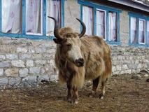 Big brown yak Stock Photography