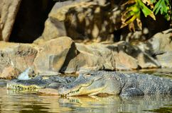 Amphibian Prehistoric Crocodile. Big Brown and Yellow Amphibian Prehistoric Crocodile Royalty Free Stock Photography