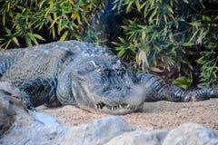 Big Brown and Yellow Amphibian Prehistoric Crocodile. Photo Picture of Big Brown and Yellow Amphibian Prehistoric Crocodile Stock Image