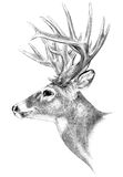 Big buck antlers hunting illustration, hand drawn. Hand drawn deer illustration on white background, big buck hunting trophy, big antlers, drawing white tail stock illustration