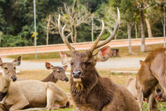 Big buck deer stag resting. In national forest park stock image