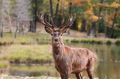 Big buck during fall Royalty Free Stock Images
