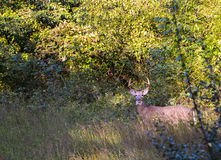 Big buck in the field Stock Photo