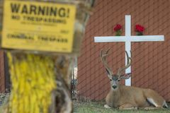 Big buck lays behind no trespass sign. With cross behind him royalty free stock images