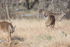 Big buck making a move on doe in heat Royalty Free Stock Images