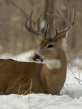 Big Buck. A Buck resting in snow in the winter stock image