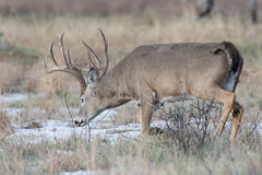 Big buck in snow trailing the scent of doe Stock Image