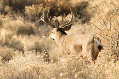 Big buck walking away in the Oregon desert stock image