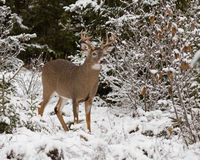 Big Buck (White-tailed deer). A mature male White-tailed deer after the first snowfall of the season in November of 2015 in Parc National du Bic (Quebec, Canada Stock Photo