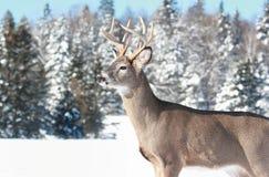 Big buck in winter Stock Photos