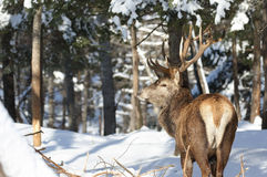 Big buck during winter Royalty Free Stock Photos