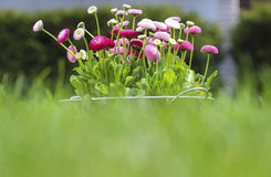 Big bucket full of daisy pink, red and white. Daisy flowers on fresh green grass in the garden. Copy space Royalty Free Stock Photos