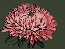 Big bud chrysanthemum Royalty Free Stock Images