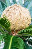 Bud of cycas revoluta cycadaceae sago palm from south japan royalty free stock photos