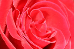 The big bud of a red rose. Stock Photography