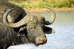 A big buffalo bull Stock Image
