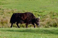 Big buffalo bull in its natural enviroment. Walking around the field stock photography