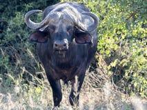 Big buffalo bull, Syncerus c.caffer, Chobe National Park, Botswana. The Big buffalo bull, Syncerus c.caffer, Chobe National Park, Botswana stock photos